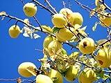 【1年間枯れ保証】【シンボルツリー落葉】カリン単木 2.0m露地