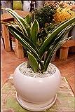 万年青(オモト)甲竜(こうりゅう) 和風の和み テーブルサイズ(S-サイズ)インテリア陶器鉢植え 受け皿付き ミニ観葉植物