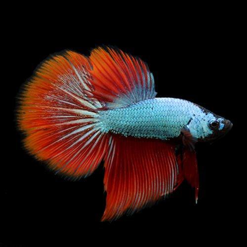 (熱帯魚) ベタ・スーパーデルタテール 色指定なし(オス)(1匹) 本州・四国限定[生体]
