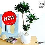 LAND PLANTS 【観葉植物】 ドラセナコンパクタ (特大 白丸型陶器鉢)