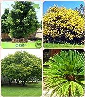 ガーデンマキGracillior、SEEDシード(パケット当たり4)でHomSEED種子および種子&シェード&パーム種子lbata、アルビジアLebbeck、サゴヤシコンボためのシードガーデニング種子