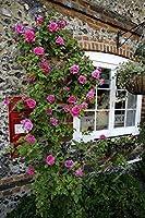 種子パッケージ: 200個はバラの木、DIYホームガール鉢植え、Bcony&アンペアrを。庭の花ドとしてデフローレス:バイオレット
