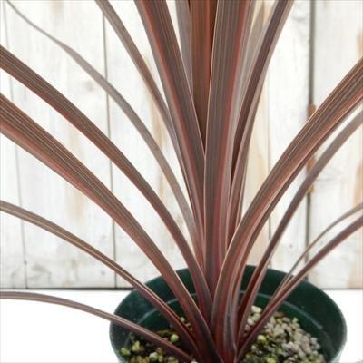 RoomClip商品情報 - コルジリネ オーストラリス レッドスター(観葉植物 寄せ植え カラーリーフ 12cmポット)