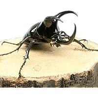 (昆虫)モーレンカンプオオカブトムシ ボルネオ産 幼虫(2~3令)(3匹) 本州・四国限定[生体]