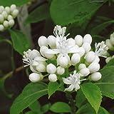 アジサイ(ディクロア):常山(ジョウザン)白花3.5号ポット[常山の白花品種 実はブルー] ノーブランド品