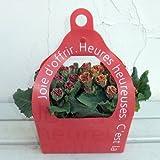 [ギフトに]レッドBOX入り:プリムラ ジュリアン ショコラ[チョコレート色のプリムラの花]