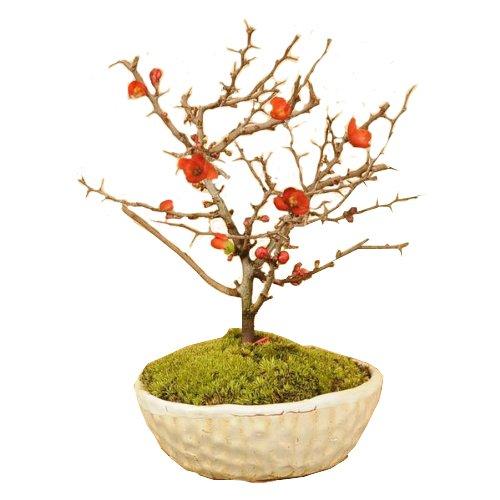 ミニ盆栽:長寿梅(瀬戸焼白釉鉢)*