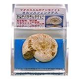 あなたも!化石博士シリーズ ケース標本 マダカスカル島のアンモナイト アンモナイトオルソス -