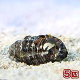 (海水魚 ヤドカリ)スベスベサンゴヤドカリ(5匹) 本州・四国限定[生体]