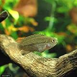 (熱帯魚)ナンナカラ・タエニア(1匹) 本州・四国限定[生体]