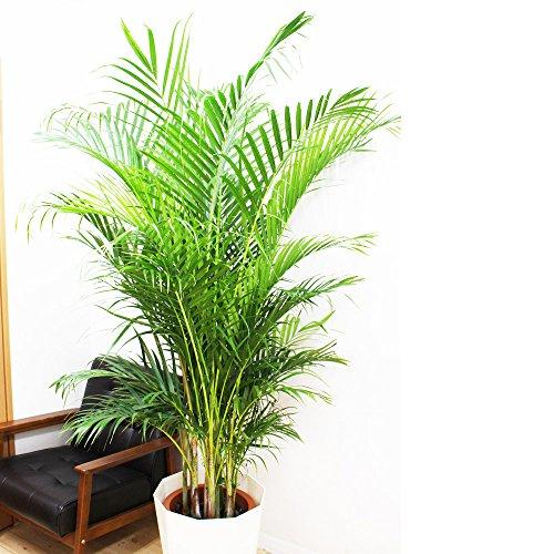 アレカヤシ 優雅なヤシの木 観葉植物 10号 大鉢 観葉植物 インテリア 大型 オシャレ 大きい 尺鉢 大サイズ 本物