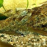 [淡水魚]ホトケドジョウ (3~6cm±)(1匹)【生体】