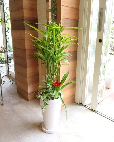 ミリオンバンブー華やか寄せ植え  観葉植物 お祝いにピッタリ!開運・金運を呼ぶ幸せの木