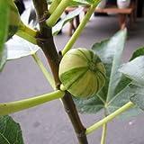 イチジク:ゼブラスィート4~5号ポット[若木のうちから結実するテマリイチジク 秋果種][苗木]