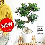 LAND PLANTS 曲がりガジュマル 盆栽仕立て 白色デザイン陶器