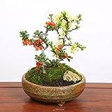 小品盆栽:紅白長寿梅寄せ(瀬戸焼小鉢)*