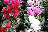 花苗 まとめ買い  ガーデンシクラメン3寸苗 おまかせ3色 6ポットセット 【送料込価格】