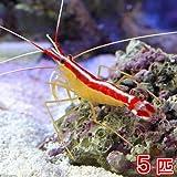 (海水魚 エビ)スカンクシュリンプ Mサイズ(5匹) 本州・四国限定[生体]