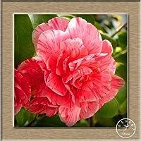 14:シーズガーデン花椿の種として椿の種子は24色、50pcs / lotは、K9Rdlqフローレス島