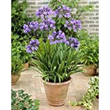 毎年花が咲く球根 アガパンサス 紫 1球