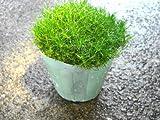 花苗 常緑多年草 サギナ もふリッチ(アイリッシュモス 緑葉品種)3号ポット苗