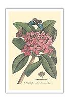 プルメリア - Flore Roseo Odoratissimo - フランギパニ - ビンテージな植物のイラスト によって作成された ゲオルク・ディオニシウス・エーレット c.1749 - アートポスター - 76cm x 112cm