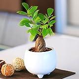ガジュマル 多幸の木 陶器 鉢植え 観葉植物 インテリア グリーン