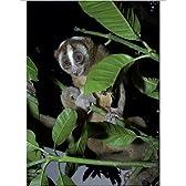 Photographic Print of Slow loris in rehabilitation centre by Ardea Wildlife Pets [並行輸入品]
