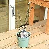 庭木:アメリカコデマリ (ディアボロ)