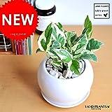 LAND PLANTS ポトス・エンジョイ 白色丸型陶器