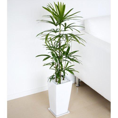 棕櫚竹(シュロチク) ロングスクエア陶器鉢植え 7号