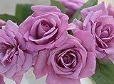 バラ苗 フェルゼン伯爵(ベルサイユのばらシリーズ) 国産大苗6号スリット鉢 フロリバンダ(FL) 四季咲き中輪 紫系