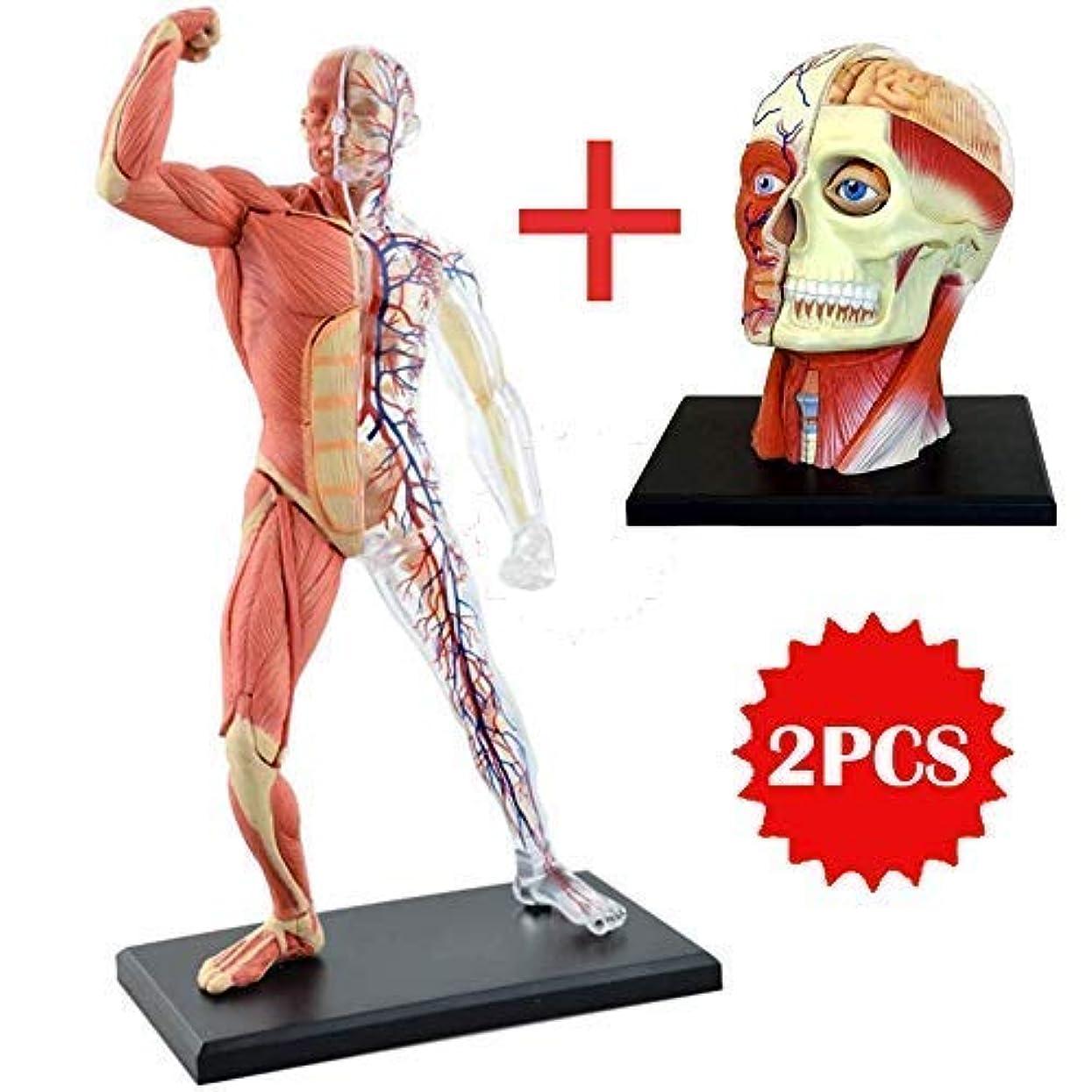 シャッフル誠意メンタルModel 医療解剖学的頭部モデル筋肉解剖学解剖学的モデル取り外し可能な人間の頭蓋骨脳モデル