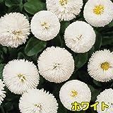 早春を飾るには年内植え付けを! 耐寒性 一年草 デイジー (デージー) ベリシマ  2株セット【ホワイト】 パンジー・ビオラと一緒に植えましょう!
