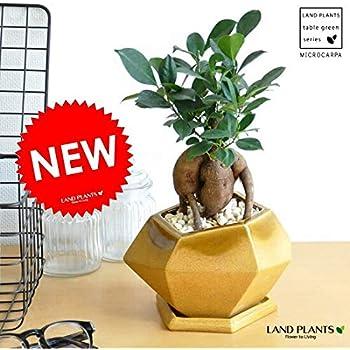 LAND PLANTS がじゅまる 多角形(イエロー) ポリゴン陶器鉢に植えた ガジュマル polygon