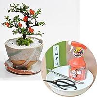 盆栽妙 ミニ盆栽と初めての道具セット 花の咲く長寿梅