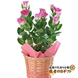 【敬老ギフト】トルコキキョウ5号鉢植 (ピンク)