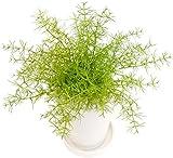 GREENPARK 観葉植物 フェイクグリーン アスパラガス 皿付プランターS H14 PRGR-0805 S