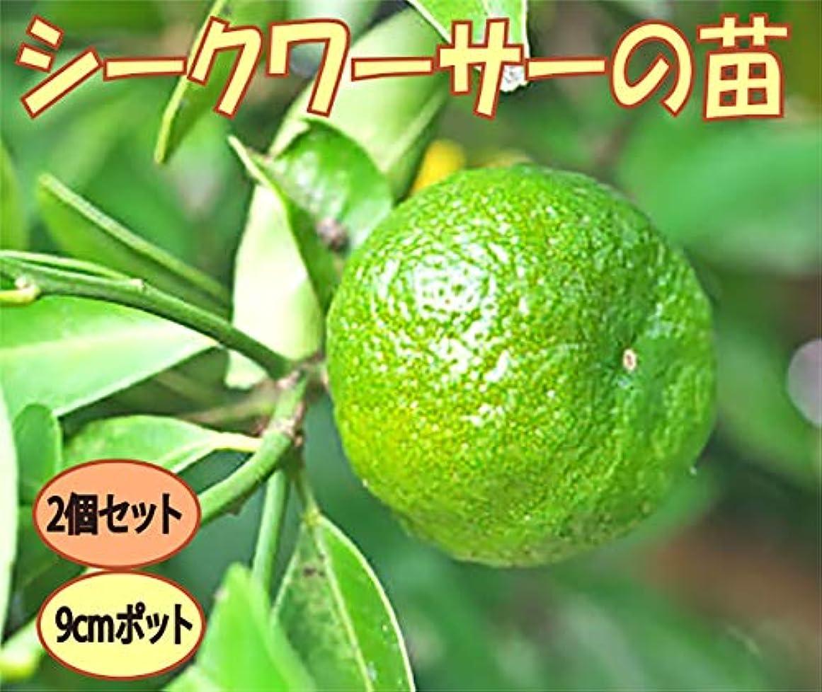 クライマックス刈るスクワイア「シークワーサー」【果樹挿し木苗9cmポット/2個セット】【ポット苗なので年中植付け可能!!即出荷!!プライム送料込み価格!】シークワーサーは、沖縄の方言で『お酢(酸)を食わせる(加える)』という意味です。まだ青い酸味の強いシークワーサーは、様々な料理に調味料として使うことができます。焼魚や唐揚げにかけたり、醤油と合わせてオリジナルぽん酢を作ったり、酢の物に使ったり。レモンよりもフルーティーでスダチよりも癖がない味です。寒さには強くないので温暖地以外では冬は鉢植えにして室内窓辺で管理してください。自社農場から新鮮出荷!!【挿し木苗ですので、出荷タイミングによりかなり小さな苗になります。苗が小さくても十分栽培可能です。弊社出荷基準により出荷しています。ご了承ください】