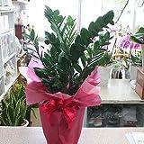 【観葉植物】ザミア ・ ザミオクルカス 7号(80サイズ)鉢植え インテリア・開店開業 お祝い ギフト