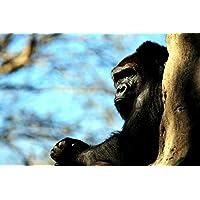 樹上に休むゴリラ動物 - #30511 - キャンバス印刷アートポスター 写真 部屋インテリア絵画 ポスター 90cmx60cm