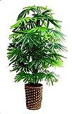 観葉植物 観音竹(竹カゴ付き)