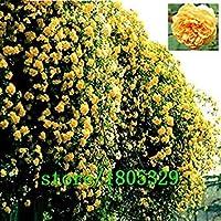 庭のクライミング用SEEDSのPLAT会社 - 花の種が50個フレアーGREAT PROMOTION植物ローズ盆栽プランター