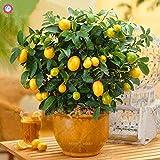 40本の金柑ミニオレンジの木の盆栽果物屋内の多年草の植物は、ホームガーデンsementes最高の包装のために鉢植え