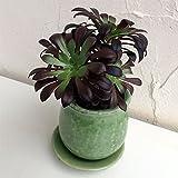 多肉植物:アエオニウム黒法師グリーン陶器鉢植え