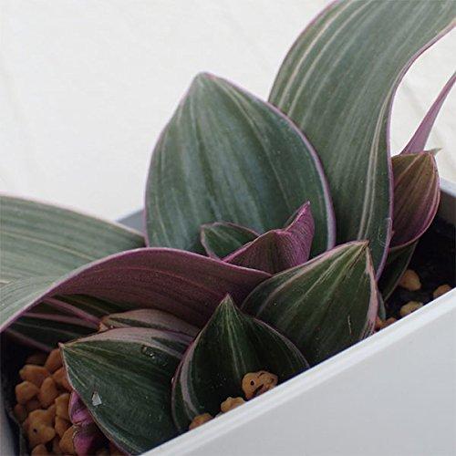 ムラサキオモト:オーロラミニ3.5号ポット 2株セット[葉裏の紫がきれいな観葉植物] ノーブランド品