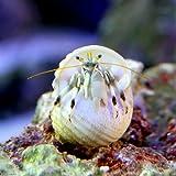 (海水魚 ヤドカリ)シロサンゴヤドカリ Lサイズ(1匹) 本州・四国限定[生体]