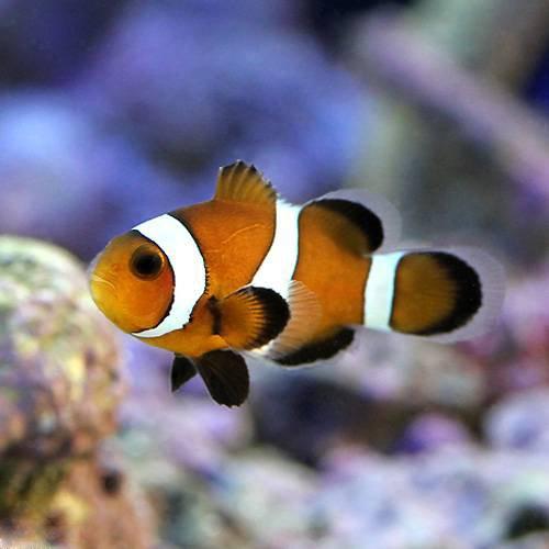 (海水魚)ブラックオセラリス キャラメルカラー(ブリード)(3匹) 本州・四国限定[生体]