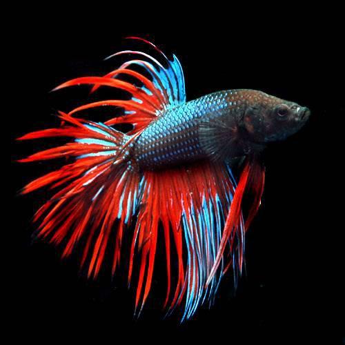 (熱帯魚)ベタ・クラウンテール 色指定なし(オス)(1匹) 本州・四国限定[生体]