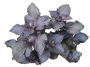 赤紫蘇 種 160粒